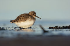 Dunlin, Calidris alpina Stock Photos