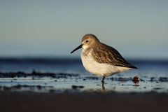 Dunlin, Calidris alpina Royalty Free Stock Photos