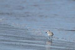 Dunlin Calidris alpina a small wade on the beach Delta del Ebro stock photo