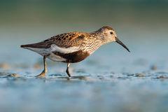 Dunlin (Calidris alpina) Stock Photos