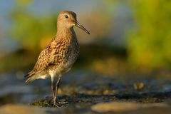 Dunlin - Calidris alpina. Walking around the lake, colours, winter plumage Royalty Free Stock Image