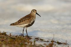 Dunlin (Calidris alpina). Walking around the snow from Norway Stock Photos
