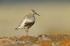 Dunlin, Calidris alpina, water bird in the nature habitat, Svalbard, Norway. Willife Royalty Free Stock Images