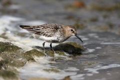 Dunlin, Calidris alpina Royalty Free Stock Photography