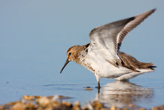 Dunlin (calidrisalpina) Royalty-vrije Stock Foto