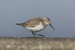 Dunlin on a concrete block Royalty Free Stock Photography