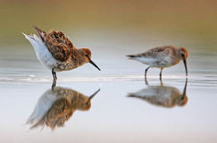 Dunlin with Curlew Sandpiper. The picture was taken in Hungary Stock Photo