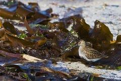 Dunlin en la playa Imagen de archivo libre de regalías