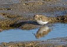 Dunlin feeding in pool. Wader Dunlin calidris alpina feeding in pool Royalty Free Stock Images