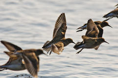 Dunlin in Flight Stock Photos
