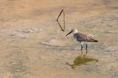 A Dunlin hunting in the shallow waters. At sunset royalty free stock photography