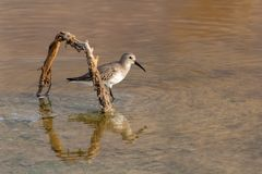 A Dunlin hunting in the shallow waters. At sunset in RAK, UAE stock photography