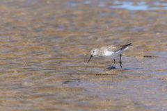 A Dunlin in search of food royalty free stock images