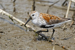 Dunlin in Marsh Royalty Free Stock Image