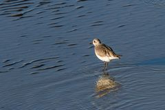 Dunlin Stock Photos