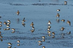 Dunlin Stock Images
