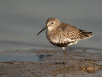Dunlin no Ft. Desoto Fotografia de Stock Royalty Free