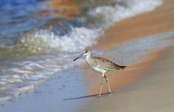 Dunlin que anda a trancos abajo de la playa en la reflexión del velero Imágenes de archivo libres de regalías