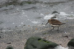 Dunlin. A Dunlin on Raufurhofn beach, Northeastern Iceland. Rocks and seaweed. Calidris Alpina royalty free stock images