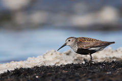 Dunlin. Or Red-backed Sandpiper and seafoam Royalty Free Stock Images