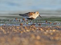 Dunlin with rings on the legs i stock image