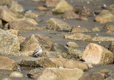 Dunlin among rocks Stock Photo