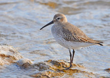 Dunlin on Rocky Shore. Photograph of a fall-plumaged Dunlin standing on a rock along a Lake Michigan shoreline stock images