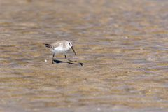 A Dunlin hunts for food at the beach in Muscat, Oman Calidris alpina. royalty free stock photo