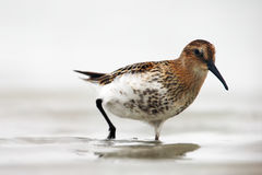 The dunlin in the shallows lagoon. The dunlin Calidris alpina in the shallows lagoon Royalty Free Stock Image