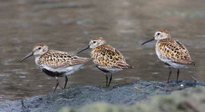 The dunlin stock photography