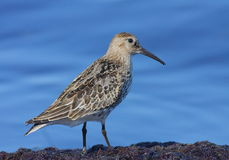 The dunlin Royalty Free Stock Image