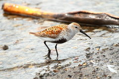 Dunlin, shorebird Royalty Free Stock Photos