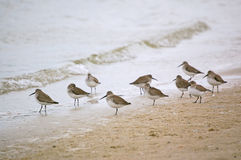Dunlin Shorebirds on the beach. A group of Dunlin rest on the best waiting for the tide to turn Stock Photo