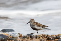 Dunlin small coastal wading bird in the sandpiper family. Walkin Stock Image