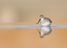 Dunlin Royalty Free Stock Photo