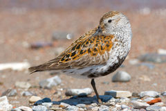Dunlin Royalty Free Stock Image