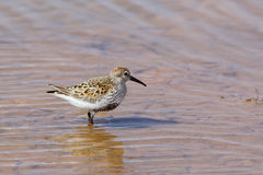 Dunlin stood in water Stock Photography