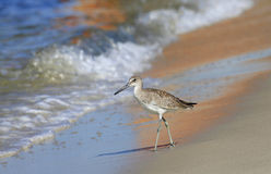 Dunlin Striding Down the Beach In the Reflection of Sailboat Royalty Free Stock Images