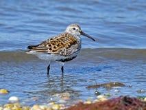Dunlin sur la plage Images libres de droits