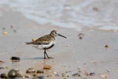 Dunlin Trampoliere del piovanello sulla sabbia bagnata alla spiaggia Wildli costiero Fotografie Stock