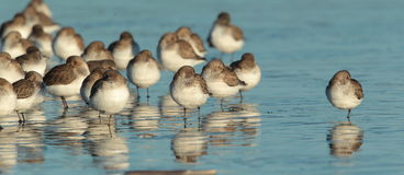 Dunlin. Stock Photography