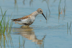 Dunlin Royalty Free Stock Photography