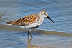 Dunlin. A Dunlin walking in the bay Stock Images