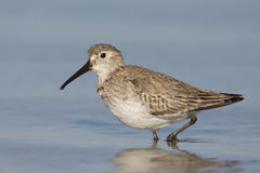Dunlin walking in the shallow water Stock Photography