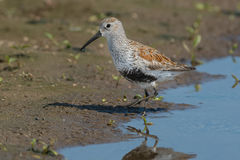 Dunlin Royalty Free Stock Images