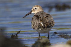 Dunlin which stands at the edge of the water turning his head Royalty Free Stock Photography