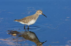 Dunlin in winter Stock Photos