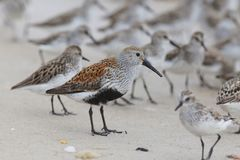 Dunlin z Sandpipers w tle obrazy royalty free