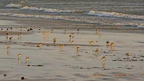 Dunlins на пляже Балтийского моря плавают вдоль побережья - alpina Calidris Стоковое Фото