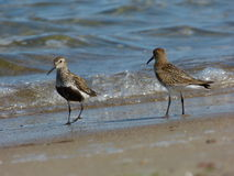 Dunlins Stock Photography